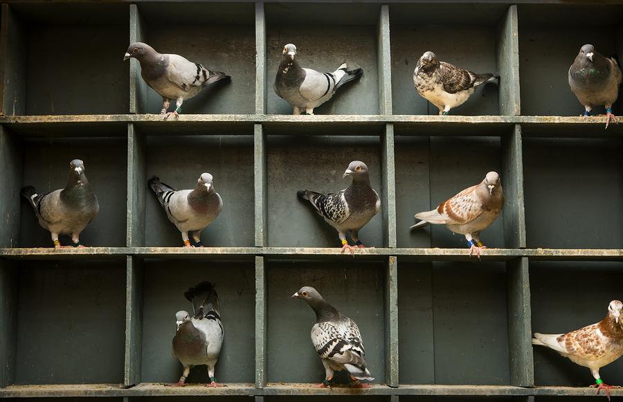 Loft Design - Spartan Racing Pigeons